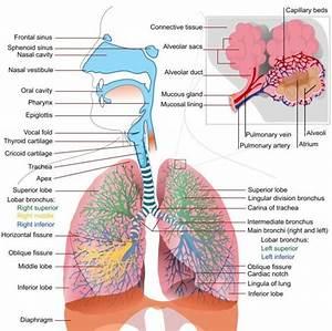 Human Respiratory System Diagram
