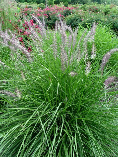 grass perennial fountain grass karley rose garden housecalls