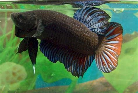 พัฒนาสายพันธุ์ปลากัดแปดริ้วด้วยการผสมพันธุ์กับปลากัด
