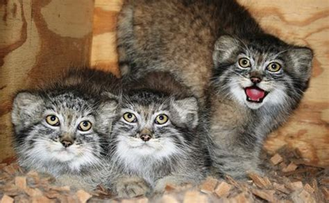 First Ever Birth Of Pallas' Kittens With The Help Of