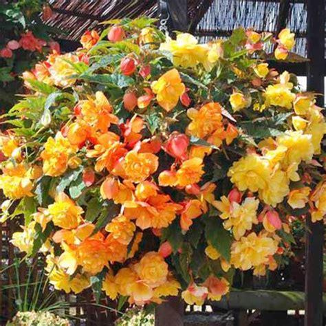 images  begonia  pinterest