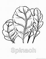 Spinach Coloring Vegetable Pages Zoom Drawings Designlooter 123coloringpages 28kb 930px sketch template