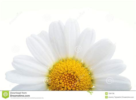 fiore della bellezza fiore della camomilla fotografia stock immagine di