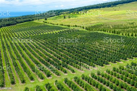 Mule wagon tours, coffee shop and store. Aerial Of Kona Coffee Plantation In Big Island Hawaii Stock Photo - Download Image Now - iStock