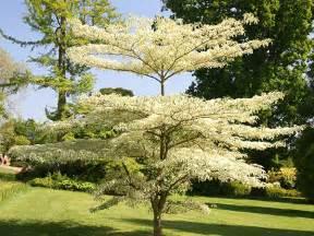 delivery flowers buy wedding cake tree cornus controversa 39 variegata
