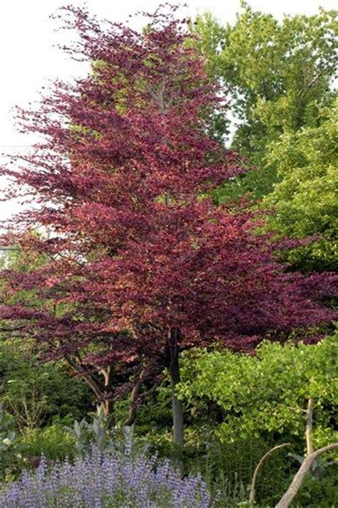 tricolor beech tri color beech trees pinterest