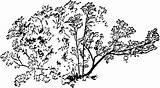 Bush Currant Clipart Etc Usf Edu Medium Tiff sketch template