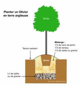 Planter Un Olivier En Pleine Terre : planter un olivier en sol argileux mon jardin s 39 appelle ~ Farleysfitness.com Idées de Décoration