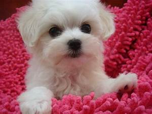 HD Animals: cute small white dog