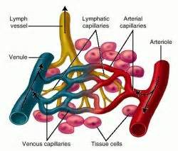 capillary definition of capillary by medical dictionary