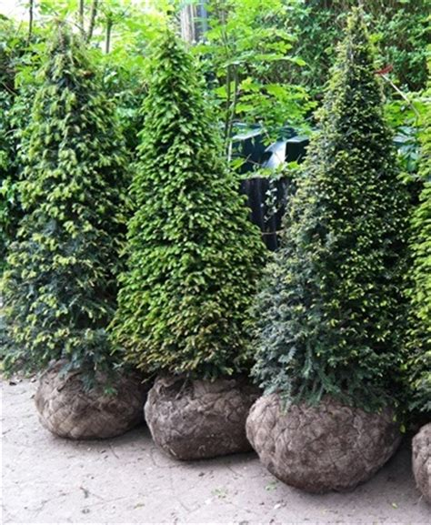 Yew (taxus) Hedging And Topiary Plants For Sale