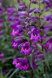 Penstemon  U0026 39 Midnight U0026 39  Recommend Planting These En Masse