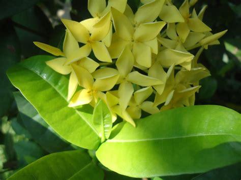 manfaat khasiat bunga asoka kuning kesehatan