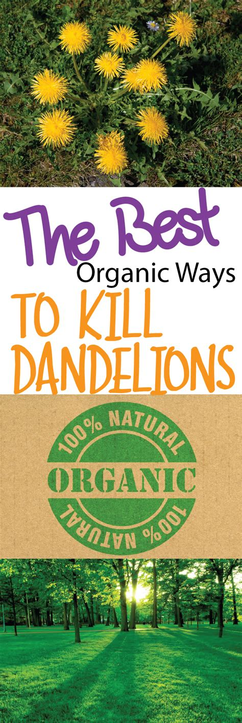 organic ways   rid  dandelions making diy fun