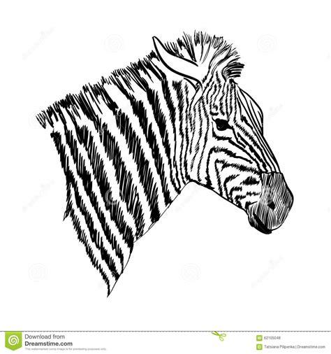 Zebra Stock Illustration Image 62105048