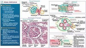 Renal Corpuscle Diagram