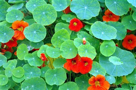 Garden Nasturtium by Nasturtiums For Vegetable Garden Landscape Dreams