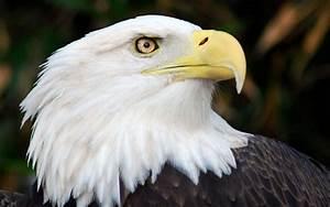 États-Unis : des aigles à tête blanche meurent ...