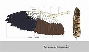 J.LEUNG: Great Horned Owl WING