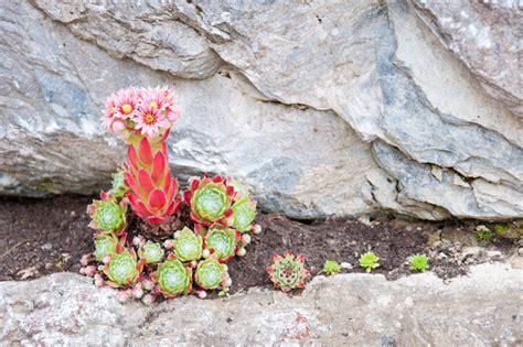 pflanzen für steinmauer bruchsteinmauer bepflanzen 187 welche pflanzen eignen sich