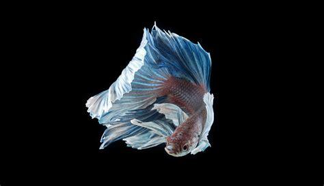incredible fine art portraits  siamese fighting fish