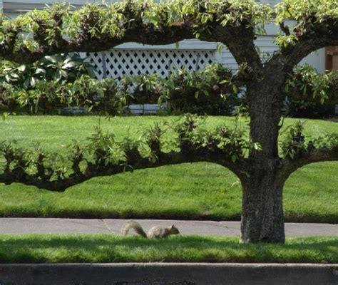 tree espalier trees on pinterest fruit trees espalier fruit trees and growing fruit trees