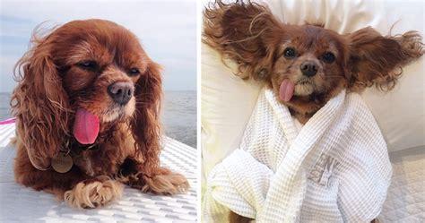 meet toast  cute ny rescue puppy   floppy tongue