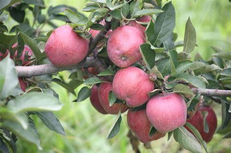 Apple Varieties - Curtis Orchard & Pumpkin Patch ...