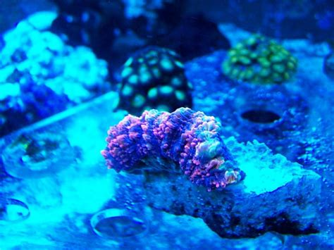 Decorator Crab Reef Safe by Lps Coral Tank Quotes