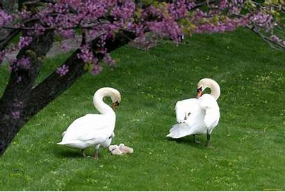 Birds Swans Flowers Garden Trees Background Tree
