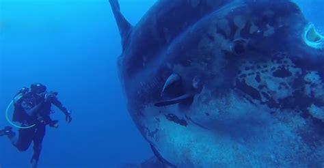 divers  portugal dwarfed  massive sunfish grindtvcom