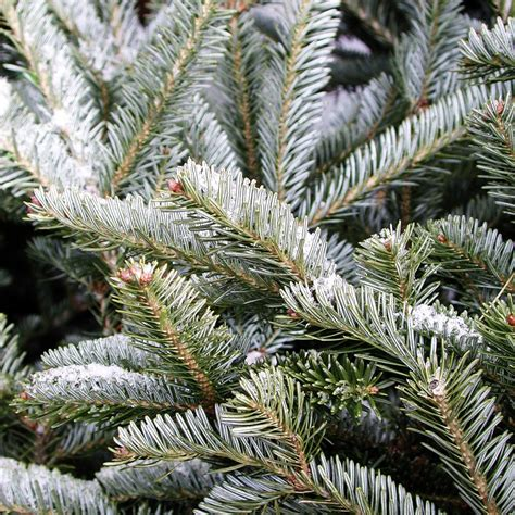 what type of christmas tree lasts the longest types of trees galehouse tree farm