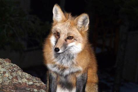 red fox   dark photograph  marilyn burton
