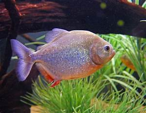 Are Piranhas Dangerous?