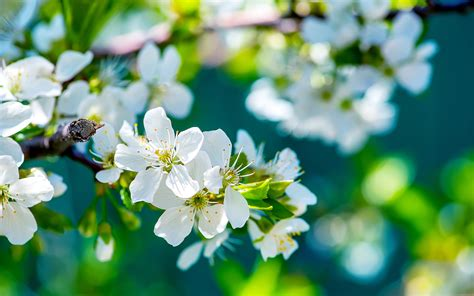 apple flowers hd flowers  wallpapers images