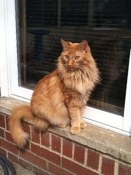 missing long hair orange tabby michigan humane society