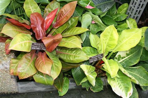 philodendron prince  orange mccolley yellow