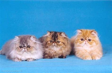 foto persiani persiani mici miao il gatto foto di gatti e storie