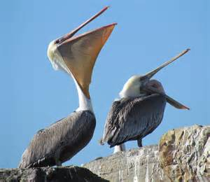 Brown Pelican with Mouth Open