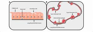 35 Lung Cell Diagram
