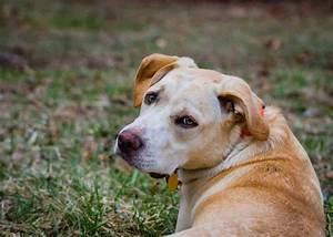 Beagle Lab Mix (A.K.A Lab Beagle Mix) - All You Need To ...