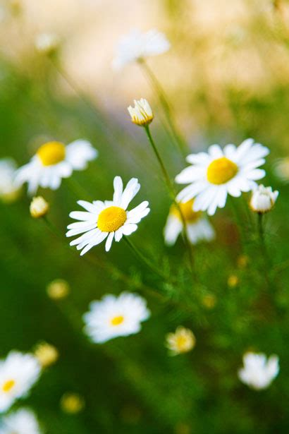 chamomile flowers  stock photo public domain pictures