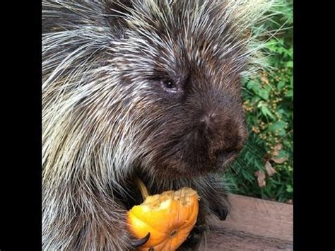Porcupine Eating Pumpkin And Talking teddy bear the talking porcupine loves pumpkin youtube