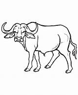 Buffalo Coloring Outline Popular African Pages sketch template