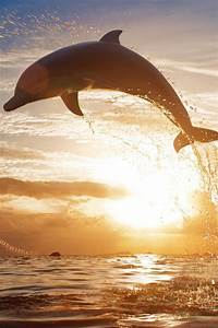 A dolphin jumping out of the water on sunset. | animals ...