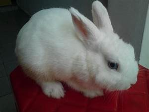 White Dwarf Rabbit Blue Eyes Netherland dwarf bunny sold ...