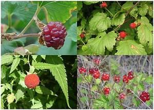 File Raspberries  Fruit Of Four Species Jpg