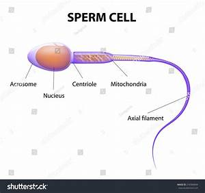Human Sperm Cell Anatomy Stock Illustration 216584044
