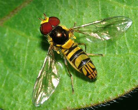 Syrphidae(hover Flies) Prey On Plant Pests(aphids, Thrips