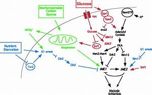 Signal Pathway Integration In The Switch From The Mitotic